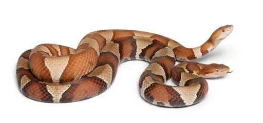male and female Copperhead snake or highland moccasin