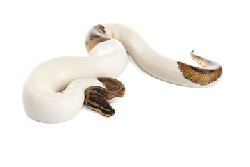 Snake Boa with white background