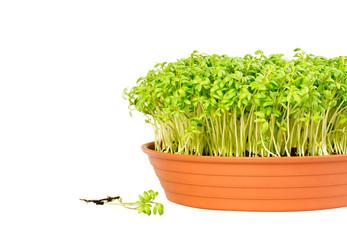 Watercress growing in a pot