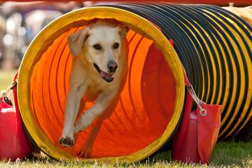 Agility Hund kommt aus Tunnel / Röhre