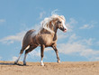 welsh pony free in a desert