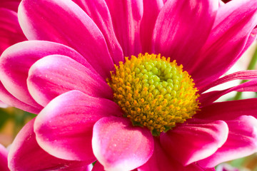 Pink flower with yellow center. Bright light