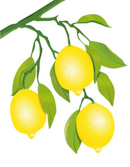 Zitronen am Baum