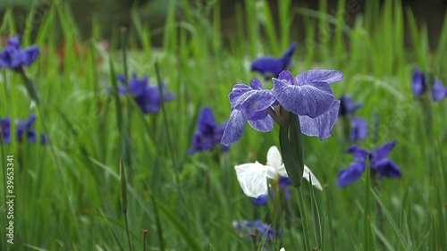 The flower of Japanease Iris,in Showa Kinen Park,Tokyo,Japan