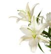 Fototapeten,weiß,blumenstrauss,blühen,lily
