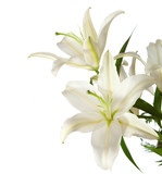 a fragment of white lilies ' bunch on a white background