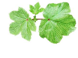 isolated ladies figer leaves