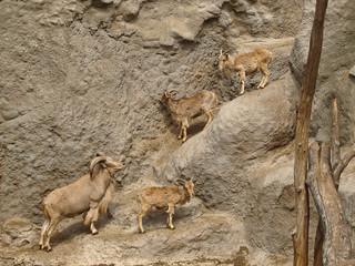 Mountain goats and rams climbing