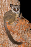 Nocturnal Lesser Bushbaby in a tree, South Africa poster
