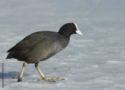 Common Coot walking on the ice
