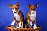 Two little Basenji puppys, brindle colour, 2 month poster