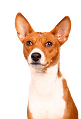 Basenji-dog on the white background