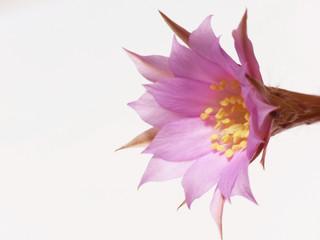 pink cactus flower 1