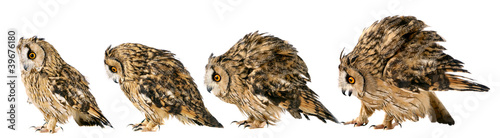 Long-eared Owl isolated on the white background