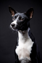 Two-coloured basenji in front of a black background