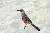 Hood mockingbird, Galapagos Islands, Ecuador