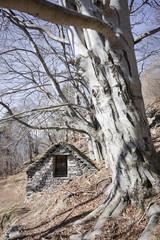 faggio e piccola casa in pietra sulle alpi