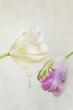 Weisse und Rosa Tulpen