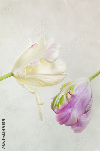 biale-i-rozowe-tulipany