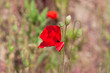 Red poppy in a summer meadow