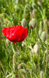 Red poppy in a summer field