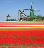 Windmills and tulip field