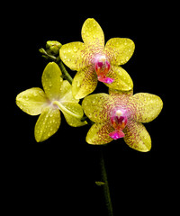 orchid blooming in the drops of dew on a black background