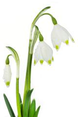 Märzenbecher auf weißem Hintergrund
