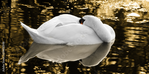 The sleeping swan of the golden lake