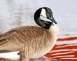 The Canada Goose - water in background