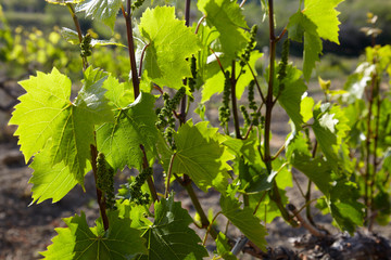 Grap vine with young berries