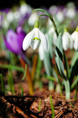 Blossoming crocuses and snowdrops