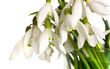 snowdrop flowers bouquet