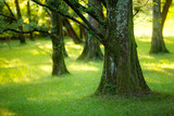 Fototapety Yews wood