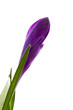 Purple Crocus flower in closeup