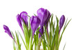 Purple Crocus flowers in closeup