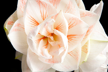 white Amaryllis flower in closeup