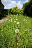 Dandelion flower seeds