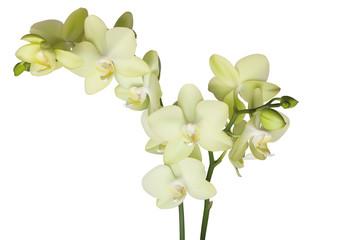 schöne gelebe Orchidee