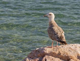 Aegean silver seagull