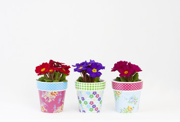 Colorful flowerpots with primroses