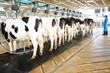 Modern cows farming