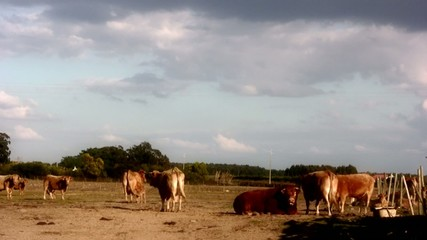 Cows Grazing on a Farm in Portugal