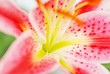 Pink lily close up