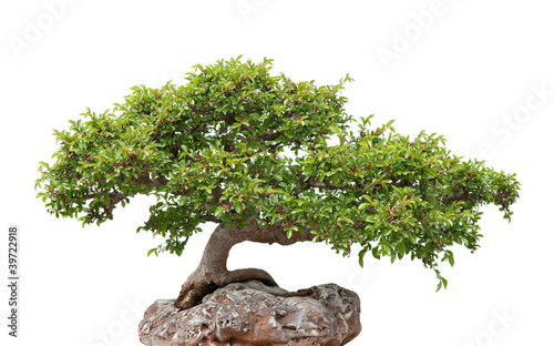Foto op Plexiglas Bonsai Green bonsai tree growing on a rock