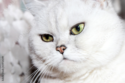 poster of scene pedigreed cat as illustration animal world