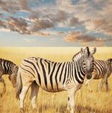 Fototapeta zwierzęta - przygoda - Dziki Ssak