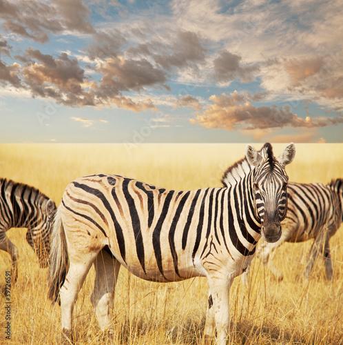 fototapete wildlife zebra s ugetiere wildnis pixteria. Black Bedroom Furniture Sets. Home Design Ideas