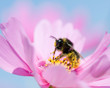 Spring - Bee on cosmos flower
