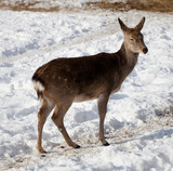 Female of  deer
